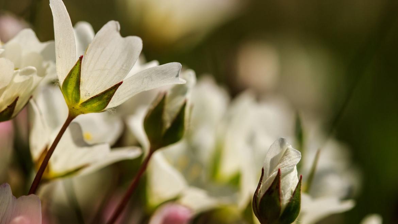 Le caratteristiche degli Oli Vegetali: il Limnanthes Alba